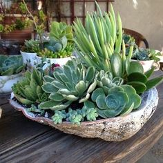 Succulents planted in a abalone shell.