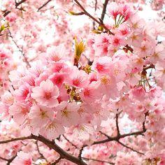 Japan Sakura day