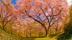 Cherry blossoms in Dumbarton Oaks Gardens, Washington, D.C. (© Blaine Harrington III)Bing Homepage Gallery