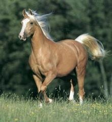 Cremello gene on a chestnut horse produces a palomino coloring
