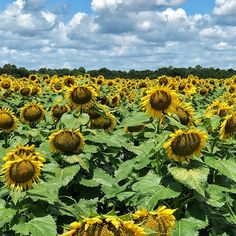 Traveling is an amazing experience, that can lead to amazing 😉 things like this field of sunflowers 🌻 I found of I-75 #trip✈️ #travels #traveler #travelphotography #traveling #travelgram #traveller #travelblogger #travelblog #travelpics #igtravel #mytravelgram #instatraveling #wanderer #wanderlust #naturalbeauty #adventureisoutthere #adventureawaits  #photoshoot #photogenic #photograph #photography #photographer #beautiful #beautifulview #love #roadtrip #spiritual Natural Beauty from…