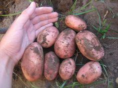 Как обновить сорт картофеля: 5 способов Овощной Огород, Картошка, Овощи, Еда, Садоводство, Кулинария
