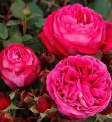 Grown by: Palatine Roses Caroline Rose, David Austin Roses, Rose Photos, English Roses, Event Calendar, Clematis, Geraniums, Peonies, Flora