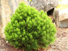 'Smidtii' Bosnian pine - This dense, globose selection of Bosnian pine has a wonderful rich green color and short needles that form a cup at the branch tips. A wonderful, slow-growing selection, perfect for a rock garden. Victory Garden, Yard Design, Modern Landscaping, Trees And Shrubs, Native Plants, Permaculture, Evergreen, Garden Plants, Green Colors