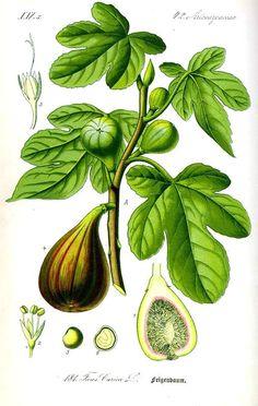 Botanical – Fruit – Ficus, fig tree  Flora von Deutschland Österreich und der Schweiz (1885)