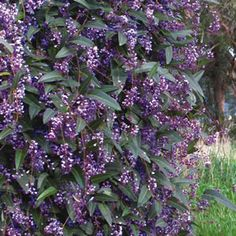 Hardenbergia violacea (Happy wanderer). Australian native climber. Vigorous climbing habit, useful plant for covering pergolas, trellises and fences or used as a spreading ground cover. Its leaves are glossy green in colour and the flowers are a rich violet-mauve in colour. They are borne profusely from winter to early spring. Prefers a full sun to part shade position. Grows 2m high x 2m wide.