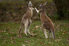 Kangaroo Boxing     http://maylocnuoc.biz.vn/loc-nuoc.html  http://maylocnuoc.biz.vn/may-loc-nuoc-ro-europura-105n.html  http://maylocnuoc.biz.vn/  http://maylocnuoc.biz.vn/may-loc-nuoc-ro-tinh-khiet-gia-dinh-gia-re-uong-truc-tiep.html