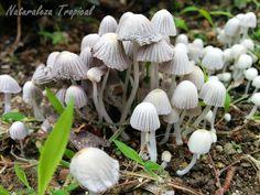 Variedad de Hongo que crece en abundantes grupos