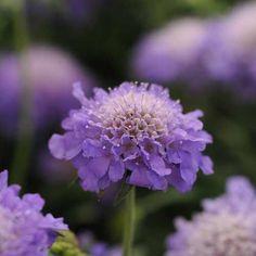 SCABIOSA japonica 'Blue Note' (Scabieuse) : Très jolies plantes de plates-bandes. La floraison ne s'interrompt que sous l'effet de l'hiver. Culture facile dans tous les sols bien drainés. Port très compact. Floraison bleue, contrairement aux autres scabieuses, chaque tige ne porte qu'une fleur.