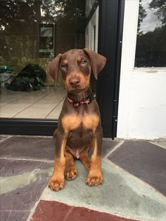 Perro Doberman Pinscher, Doberman Dogs, Dobermans, Cute Dogs And Puppies, Baby Dogs, Doggies, Cute Little Animals, Cute Funny Animals, Animals Beautiful