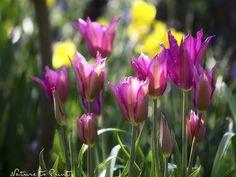 Tulpenbild: Im Frühlingsgarten, Querformat - Another! Spring Time, Flowers, Nature, Plants, Facebook, Daffodils, Tulips, Wish, Ideas
