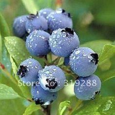 5pcs/bag blueberry tree Seeds DIY Home Garden-in Bonsai from Home & Garden on Aliexpress.com