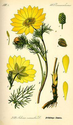 Flora von Deutschland Österreich und der Schweiz (1885) - Adonis vernalis