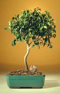 Ficus Bonsai, Buy Bonsai Tree, Bonsai Garden, Bonsai Trees, Murcia, Small Leaf, Ikebana, Oriental, Leaves