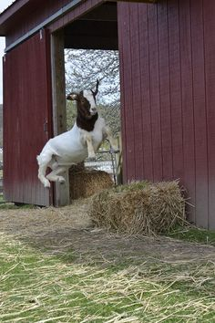 Elliott is jumping for joy because he was saved by Farm Sanctuary! 10 more rescue stories w/before & after pics: http://ow.ly/orwqc