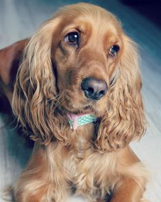 """""""Mi piace"""": 121, commenti: 5 - @prettylittleliv su Instagram: """"→ How adorable is the mermaid collar!? It looks stunning on Liv! Shop @pets_closet ← #dog #dogs…"""""""