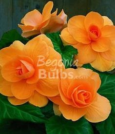 Begonia Roseform Apricot has soft petals in a rose-like bloom form. A gorgeous tangerine to light apricot orange begonia variety. Bulb size: Large (2