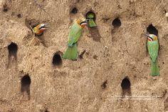 White Fronted Bee-eaters nesting Kruger National Park, National Parks, Noisy Neighbors, Bee Eater, Wildlife, Africa, Birds, Animals, Little Birds