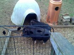 Mini Potbelly piglets 1 girl 6 months old 1 boy 1 year old all piglets are black some with white boots/blaze.  Sizes vary depending on age 20 lbs to 50 lbs.  Parents on site Cash or PayPal come with c