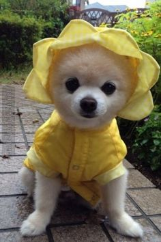 03/20/16 This little Pommie is ready for any kind of Spring weather...and especially a romp with you Gail! Hope you're having a great Sunday!! ❤️ Marty
