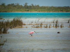 2015-02 Roseate spoonbill Bacalar Mexico. #toptravelspot #mexico #bacalar #locationindependent #spoonbill #pink #lagoon #travelphotography #bird #sonyalpha #instantraveling #instatraveling
