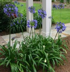 Agapanthus Lily of the Nile. drought tolerant, does best in mottled shade - perfect for the front garden Garden Shrubs, Shade Garden, Garden Plants, Agapanthus Garden, Agapanthus Blue, Garden Bed, Florida Landscaping, Front Yard Landscaping, Florida Gardening