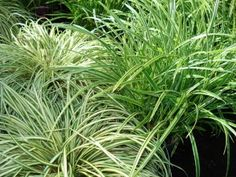 "Carex hachioensis 'Evergold',  Evergold Sedge, has thin, creamy leaves edged with green margins. More fountain-like and delicate looking than 'Ice Dance', it creates a striking, whorly mound that, when massed, lights up dark corners of the shade garden. 8-12"" h"