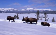 Ever wanted to get up close to a bison and hike in their native environment?