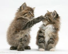 Playful Maine Coon kittens, 7 weeks old photo - WP18497