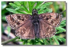 Butterflies of Scotland - Dingy Skipper Scotland, Butterflies, Insects, Animals, Butterfly, Animaux, Animales, Animal, Dieren