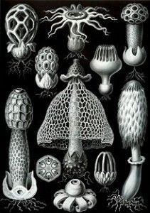 """Stinkhorn chart (in black & white). *So,Once,when one live in the Woods And wanted To be left alone- these fugii could act as a Warning """"What's that stench"""" Gives u time [Plus, ya can see were the Witch outline'came from] use what ya could.an old old lady told me Crak a twig like so,(racket )on Jew morn's early b4 sun's up,go catch the webs A~New used in Healing. Cuts, burns hacks&Slashes..And collect enough, the most Charming Mirrow. Butbring um back... . One way u might catch a Prince…"""