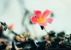 "Interesting one by orlandoferreras #landscape #contratahotel (o) http://ift.tt/27k8yV2""Someone's muse"" (Musa de alguien)  Porque siempre existirá alguien a quien le serás de inspiración.  _______o_______ #photography  #nature #flowers #inspiration #colorful #flora #fotografia #paisajes #naturaleza #flores #renacer #vida #life #spring #primavera #naturelovers #flowerslovers #dominicanrepublic #republicadominicana #color #nikon"
