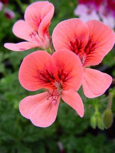 Geranium 'Angel Eyes Orange' Pelargonium