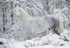 Heart Grey Wild Horses in Snow Dapple Grey Horses, White Horses, Gray Horse, Appaloosa Horses, Pale Horse, Beautiful Creatures, Animals Beautiful, Cute Animals, Most Beautiful Horses