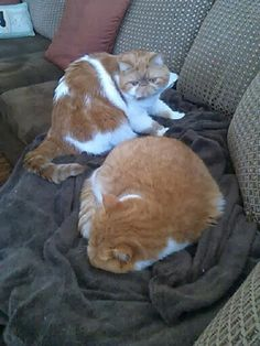 Exotic shorthair cat Chester and flat face cat Garfield on the Snuggie! Picture 1