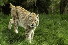 Close up view of a Eurasian Lynx, Headcorn, UK