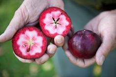 Dan Bussey has tracked down 17,000 varieties dating from Colonial times, the better to guarantee a world way beyond Red Delicious.