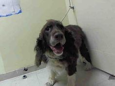 ***SUPER URGENT!!! 8/9/15 MILKSHAKE – A1046422 NEUTERED MALE, BROWN / WHITE, ENG SPRNGR SPAN MIX, 8 yrs STRAY – STRAY WAIT, NO HOLD Reason STRAY Intake condition EXAM REQ Intake Date 08/02/2015, From NY 10301