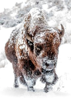 Bison in Yellowstone National Park. - Fighting the snow and cold winds while enroute to a more sheltered area of the meadow.