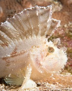 Leaf Scorpionfish - The colors of mother nature never cease to amaze...