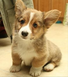 Corgi puppy I want one so bad!!