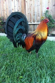 game fowl ~ game fowl & game fowl for sale & game fowl fighting & game fowl pens & game fowl breeds & game fowl cages & game fowl tattoo & game fowl roosters Fancy Chickens, Keeping Chickens, Chickens And Roosters, Raising Chickens, Chickens Backyard, Beautiful Chickens, Beautiful Birds, Exotic Birds, Colorful Birds