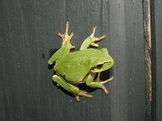 rainette grenouille verte vendée