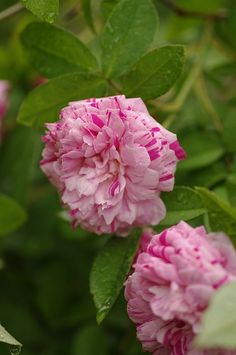 ~Gallica Rose: Rosa 'Perle des Panachées' (France, before 1837)
