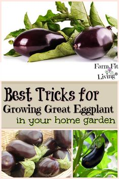 Vegetable Gardening For Beginners - Are you looking for the best tricks for growing great eggplant in your home garden? Here are the tips you need to raise healthy plants that will yield lots of eggplant to meet your needs. Vegetable Garden Planner, Raised Vegetable Gardens, Vegetable Gardening, Veg Garden, Indoor Garden, Garden Plants, Growing Eggplant, Square Foot Gardening, Organic Gardening Tips