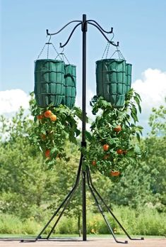 Growing Organic Tomatoes Growing Tomatoes Upside-Down - Growing Tomato Plants, Growing Tomatoes In Containers, Growing Vegetables, Grow Tomatoes, Upside Down Tomato Planter, Tomato Tree, Gemüseanbau In Kübeln, Tomato Farming, Container Gardening Vegetables