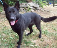 Dylan is an adoptable German Shepherd Dog Dog in Louisville, KY.  Dylan is a young male mostly-black German Shepherd, approximately 11-14 months old. He is playful and friendly. He has a big heart and...
