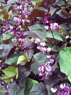 Hyacinth Horn Bean  Dolichos Lablab  Red by MizzTizzysWeedsSeeds, $4.95