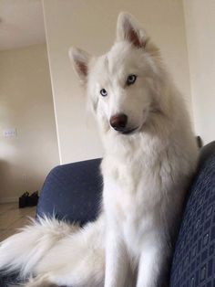 Beautiful white Siberian Husky