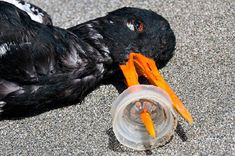 plastic garbage in ocean on birds beak,    plastic islands in the ocean are expanding steadily - VeoVerde Horrifying what we are doing to our planet without a thought
